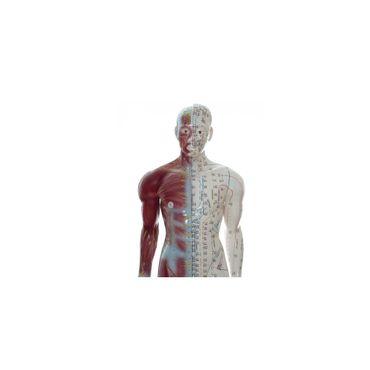 Akupunkturmodell Körper Dreidimensional HeineScientific