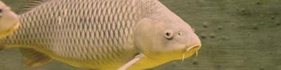 Karpfen und Friedfisch