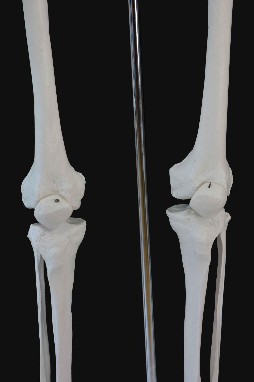 Anatomie Skelett Modell 181 cm | Online Shop Gonser