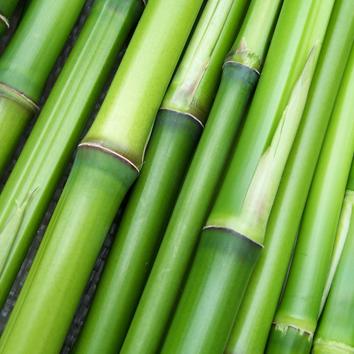 Info Bambus