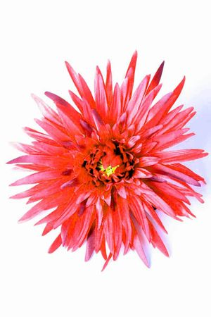 Gerbera Rockabilly Pin Up Blüten Haarspange – Bild 1