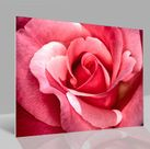 Glasbild Rose