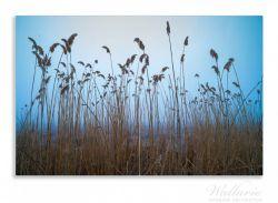 Herdabdeckplatte Schilfrohr am See vor blauem Himmel