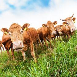Möbelfolie Kühe im Sommer auf der Weide – Bild 3