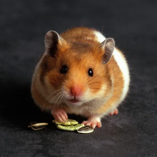 Möbelfolie Putziger Hamster mit Nüssen zwischen den Pfoten – Bild 3