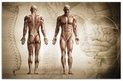 Herdabdeckplatte Anatomie Mensch II – Bild 1