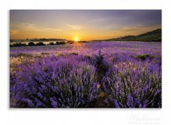 Herdabdeckplatte Sonnenuntergang über dem Lavendel