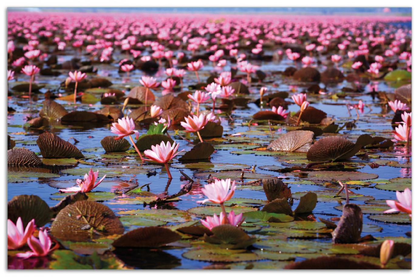 Herdabdeckplatte Seerosenlandschaft mit rosa Blüten – Bild 1