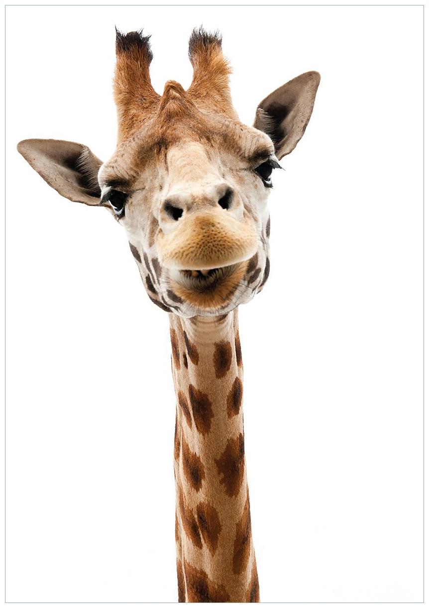 Wandbild Giraffenkopf – Bild 1