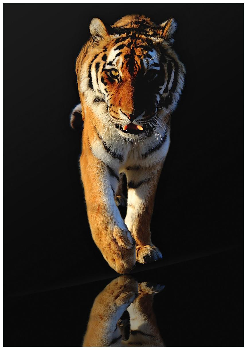 Wandbild Laufender Tiger – Bild 1