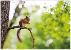 Wandbild Eichhörnchen auf einem Ast – Bild 1