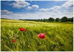 Wandbild Mohnblumenwiese auf grüner Wiese unter blauem Himmel – Bild 1