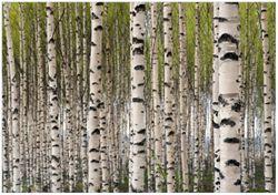Wandbild Birkenwald - Baumstämme in schwarz weiß – Bild 1