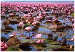Wandbild Seerosenlandschaft mit rosa Blüten – Bild 1
