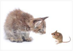 Wandbild Katze und Maus beim Spielen - weißer Hintergrund – Bild 1