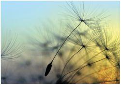 Wandbild Samen der Pusteblume in Nahaufnahme vor blauem Himmel – Bild 1