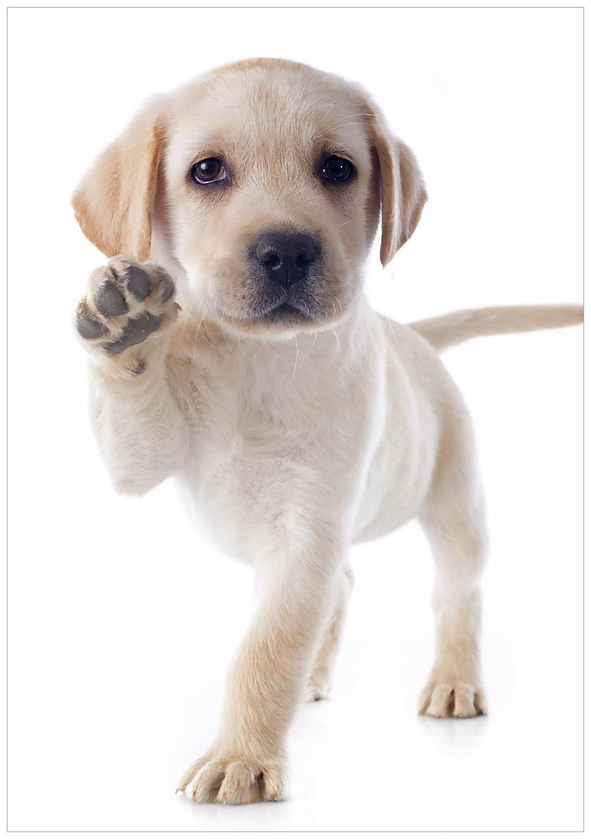Wandbild Süßer Labrador-Welpe sagt Hallo – Bild 1