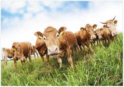 Wandbild Kühe im Sommer auf der Weide – Bild 1