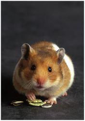 Wandbild Putziger Hamster mit Nüssen zwischen den Pfoten – Bild 1