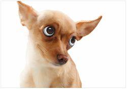 Wandbild Lustiger Hund mit fliegenden Ohren – Bild 1