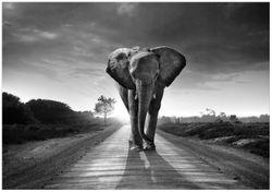 Wandbild Elefant bei Sonnenaufgang in Afrika schwarzweiß – Bild 1