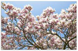 Herdabdeckplatte Schöne rosa Magnolien-Blüten vor blauem Himmel – Bild 1