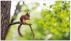 Herdabdeckplatte Eichhörnchen auf einem Ast – Bild 1