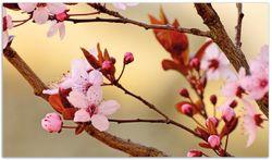 Herdabdeckplatte Frühlingsgefühle I - Kirschblüten in Nahaufnahme – Bild 1