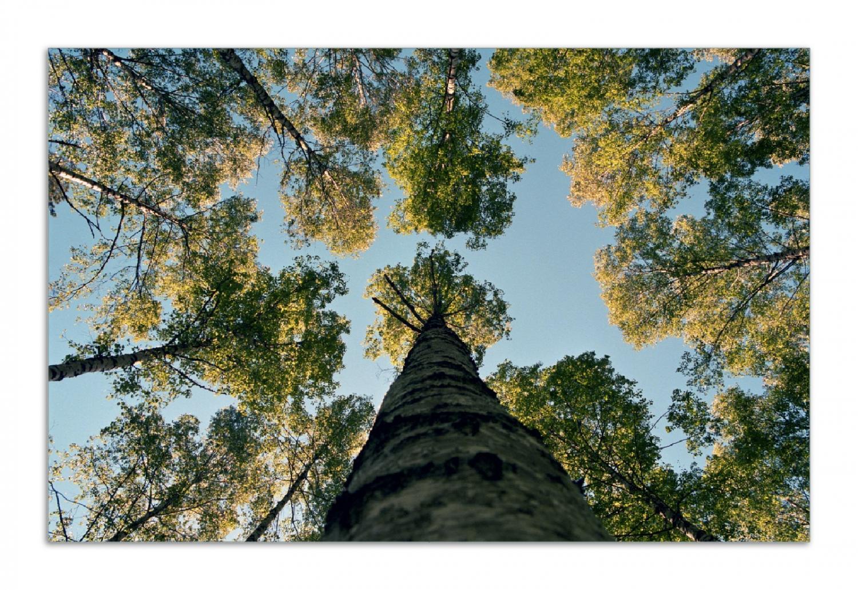Herdabdeckplatte Birkenwald von unten betrachtet – Bild 1