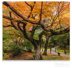 Herdabdeckplatte Gelber Ahornbaum im Herbst in Japan – Bild 1