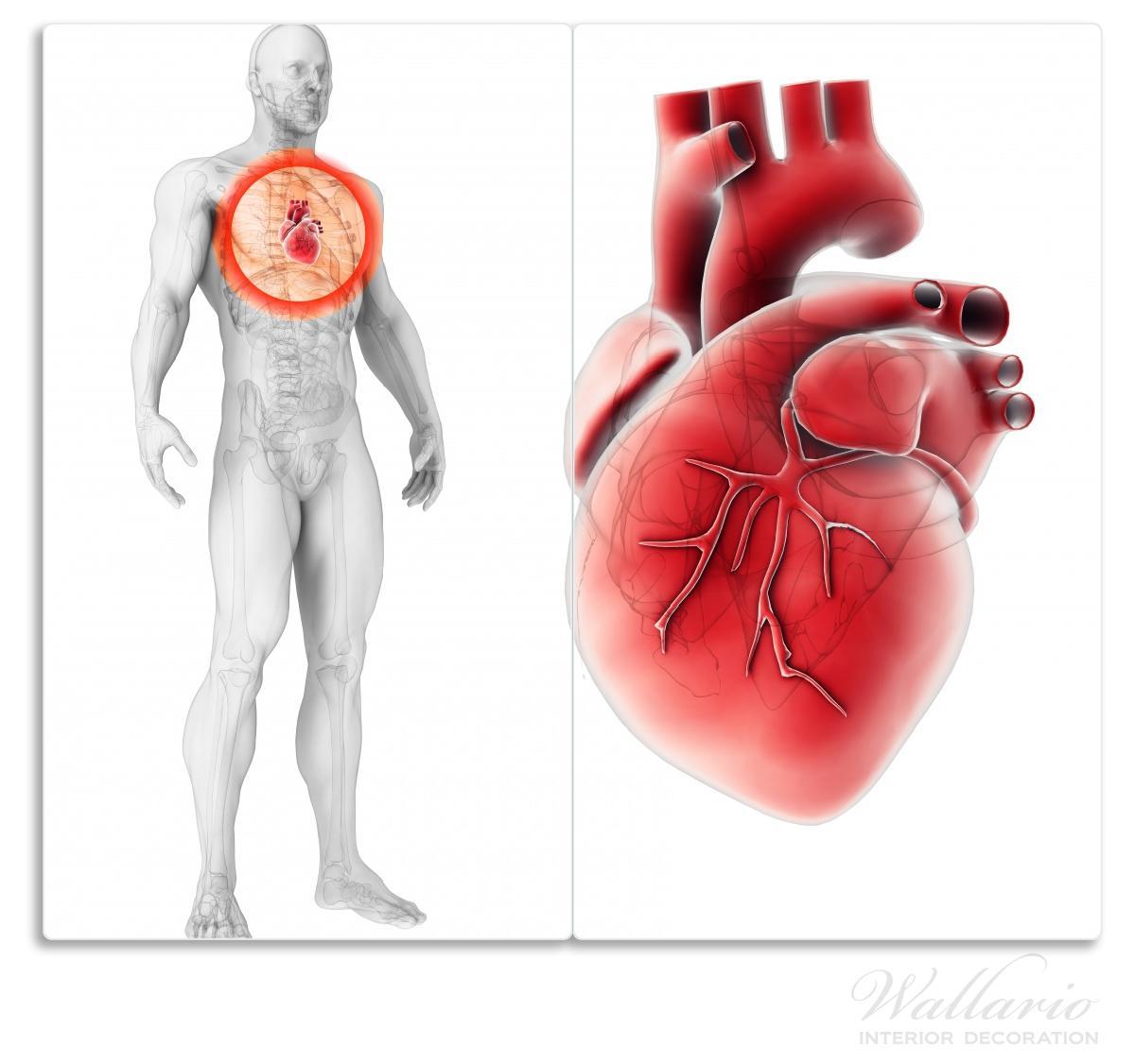 Herdabdeckplatte Anatomie des Menschen – Herz in Nahansicht – Bild 1