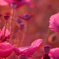 Glasbild Mohnblumen in Nahaufnahme – Bild 2