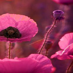Glasbild Mohnblumen in Nahaufnahme – Bild 3