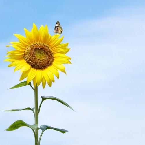 Möbelfolie Sonnenblume mit Schmetterling – Bild 3