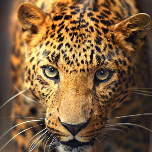 Möbelfolie Leopard in Nahaufnahme bein Laufen – Bild 3