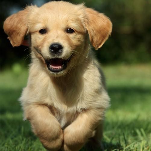 Möbelfolie Süßer Hund - Golden Retriever – Bild 3
