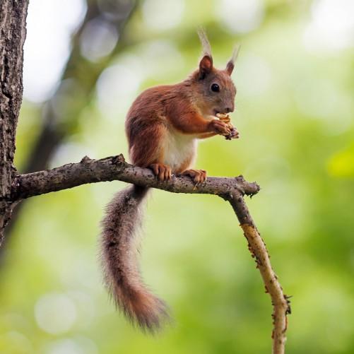 Möbelfolie Eichhörnchen auf einem Ast – Bild 3