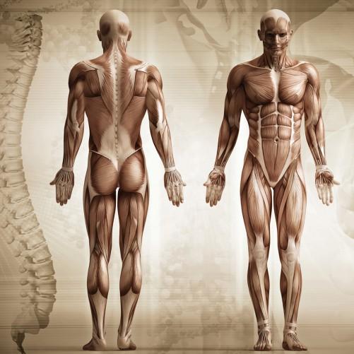 Möbelfolie Anatomie Mensch I – Bild 3