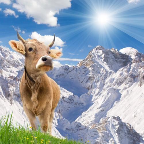 Möbelfolie Kuh im Sonnenschein in den Alpen – Bild 3