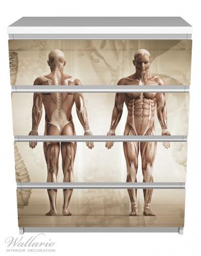 Möbelfolie Anatomie Mensch I – Bild 2
