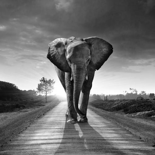 Möbelfolie Elefant bei Sonnenaufgang in Afrika schwarzweiß – Bild 3