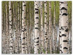 Glasunterlage Birkenwald - Baumstämme in schwarz weiß – Bild 1