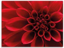 Glasunterlage Rote Dahlienblüte in Nahaufnahme – Bild 1