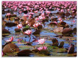 Glasunterlage Seerosenlandschaft mit rosa Blüten – Bild 1