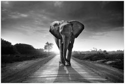 Vliestapete Elefant bei Sonnenaufgang in Afrika schwarzweiß – Bild 1