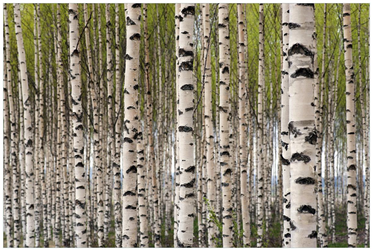 Vliestapete Birkenwald - Baumstämme in schwarz weiß – Bild 1