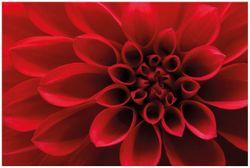 Vliestapete Rote Dahlienblüte in Nahaufnahme – Bild 1