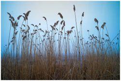 Vliestapete Schilfrohr am See vor blauem Himmel – Bild 1