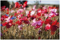 Vliestapete Mohnblumen am Rande eines Feldes – Bild 1