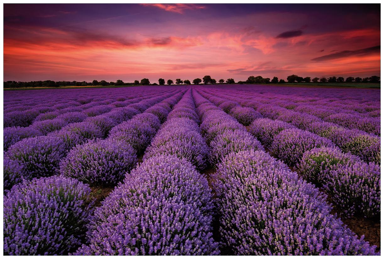 Vliestapete Lavendelfeld unter rotem Himmel – Bild 1
